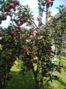 apple_tree_web